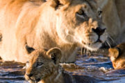 Lions in water